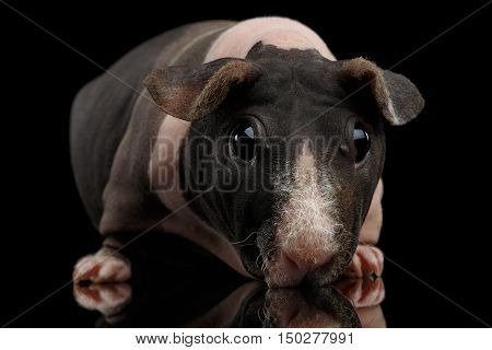 Close-up Funny Skinny Guinea pig on isolated black background with reflection