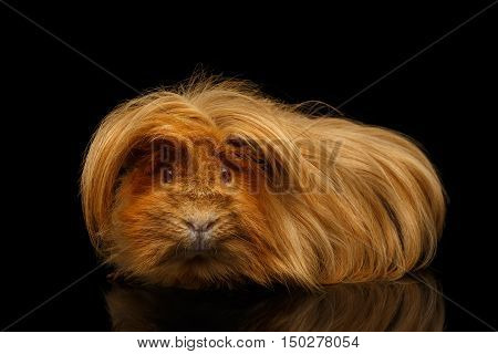 Peruvian Guinea pig with long hair and funny hairstyle on isolated black background with reflection