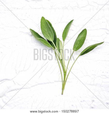 Closeup Branch Fresh Sage Leaves  On White Wooden Background . Alternative Medicine Fresh Salvia Off