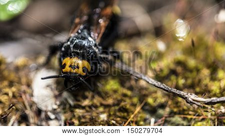 Big insect with black body and yellow head outdoor macro closeup