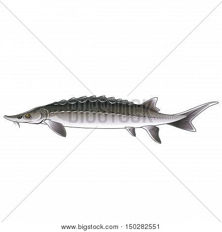 Sturgeon, isolated raster illustration on white background