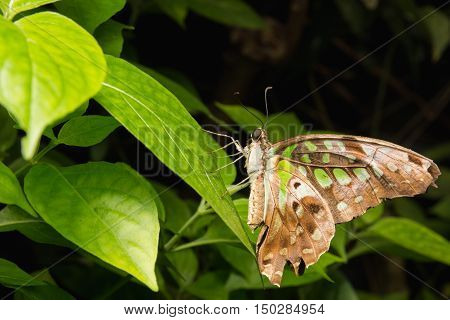 Close Up Of Tailed Jay (graphium Agamemnon) Butterfly In Nature
