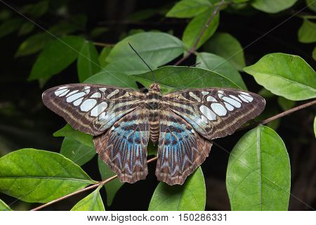 Close Up Of Tailed Jay (graphium Agamemnon) Butterfly