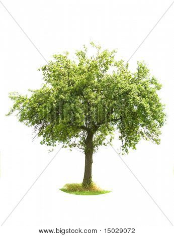 Apple Tree isolated on white (For more ISOLATED TREES please visit my portfolio)