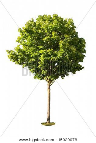 Isolated tree against a white background (For more ISOLATED TREES please visit my portfolio)