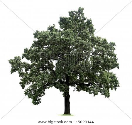 Huge tree isolated on a white background (For more ISOLATED TREES please visit my portfolio)