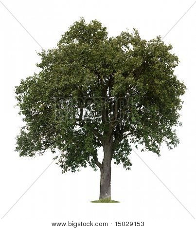 Isolated apple tree against a white background