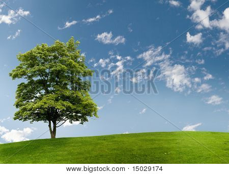 Maple tree on a meadow