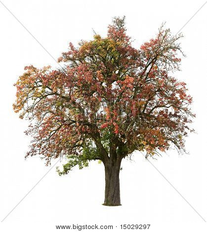 Apple tree isolated on white in autumn