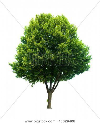 This isolated lime tree should be a Tilia cordita or a Tilia platyphyllos by the latin name