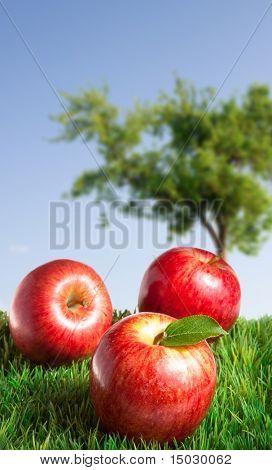 Manzanas sobre hierba con un manzano en el fondo