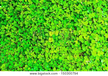 Desmodium triflorum green grass texture floor field