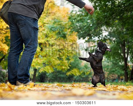 Funny Bulldog standing on hind legs in autumn park. The owner of the dog to train