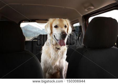 Cute Labrador dog in car