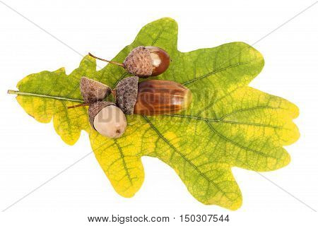 Acorns on oak leaves in autumnal colors on white background close up