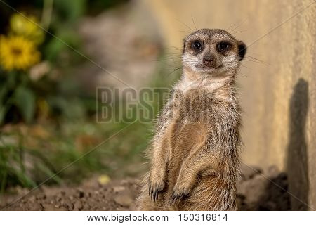 Meerkat in the wild, a portrait in a clearing