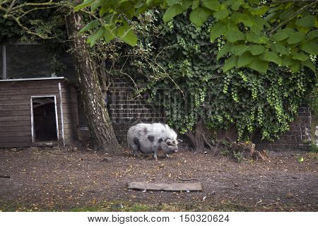 bentheimer pig before shed and barn with ivy on farm in belgium