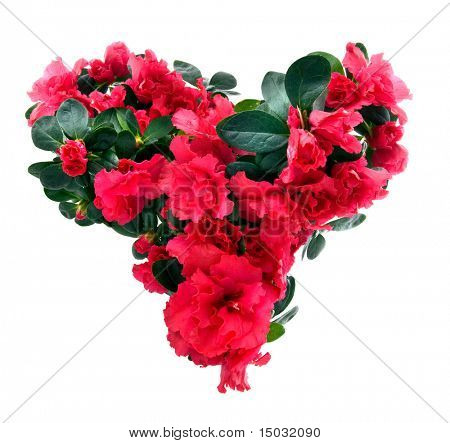 heart from azalea flowers for valentine's day isolated on white