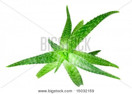 close-up photo of green aloe vera isolated on white