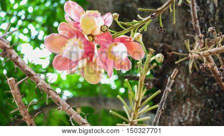 Flowers from Sal The scientific name Shorea robusta Roxb
