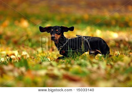 Happy dachshund dog in park