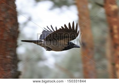 crow in flight between the trees, autumn forest, gloomy weather, Corvus cornix