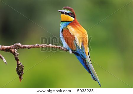 colored bee eater sitting on a branch on a green background, colored bird, bright colors, green background, colorful feathers, Merops apiaster