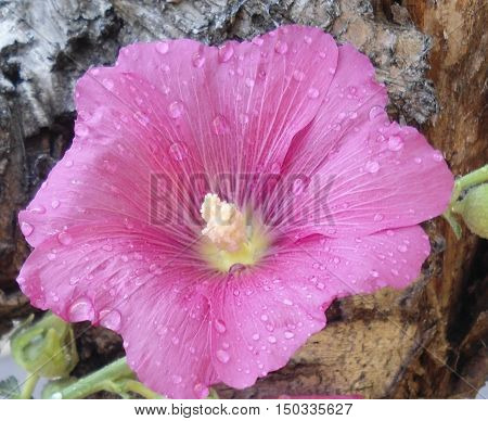 A mallow. Beautiful flower mallow covered with raindrops