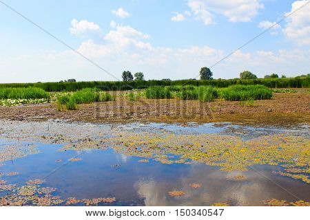 Aquatic plants in a swamp. Summer landscape