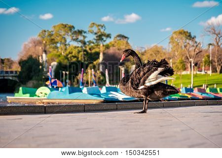 Black Swan (Cygnus atratus) in Elder Park near River Torrens in Adelaide South Australia