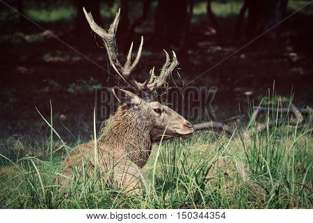 Adult male Red Deer  roaring in natural environment