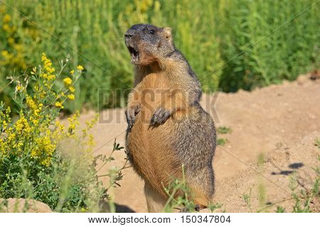 Marmot is one of the largest squirrel.