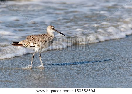 Spotted sandpiper walking on the beach with the incoming ocean tide