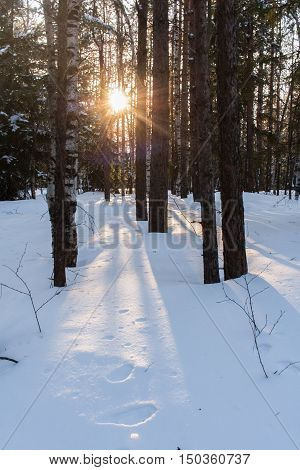The low evening sun shines through the trees in the winter forest. On snow visible solar path and shade from the trees.
