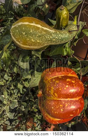 Bright still life of two pumpkins for Halloween or autumn background.