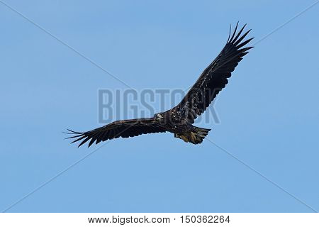 White-tailed eagle in flight with blue skies in the background