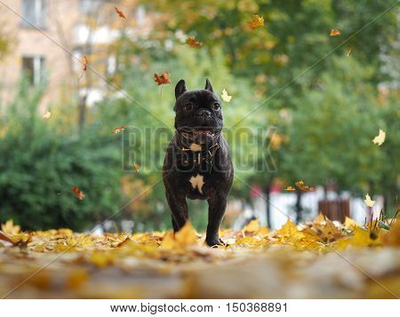 Dog runs under falling autumn leaves in the park