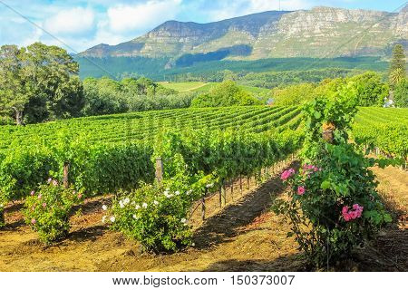 Spectacular scenery of Thelema Mountain and rows of vines in a wine plantation. The Vineyards of Stellenbosch is one of the most popular attractions of South Africa near Cape Town.