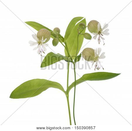 bladder campion flowers (Silene vulgaris) isolated on white