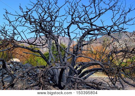 Charcoaled branches on a burnt chaparral plant caused from the Blue Cut Fire taken in Cajon, CA