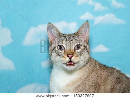 Portrait of an adult silver siamese cat mouth open in distress trying to breath looking at viewe eyes glassy blue background sky with white clouds. Copy space