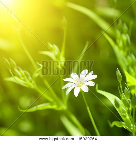 white chamomile in green grass