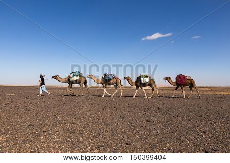 caravan of camels in the Sahara desert in Morocco