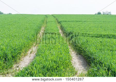 Tractor tracks through a green agricultural field in spring Scenics.