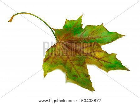 Dried Multicolor Maple-leaf