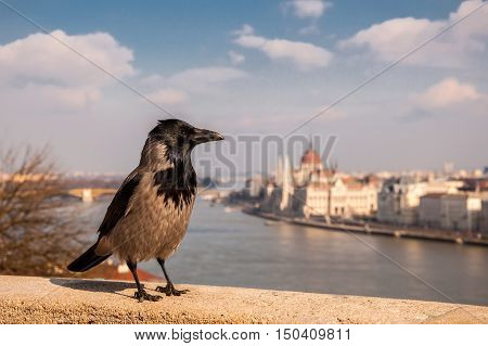Grey Raven on the background of the Hungarian Parliament, Budapest, Hungary.