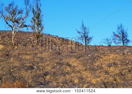 Charcoaled landscape with burnt trees caused from the Blue Cut Fire in Cajon, CA