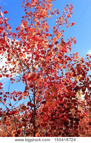 red leaves of asp in the autumn forest