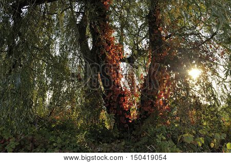 Red leaves of Virginia creeper on the green trees