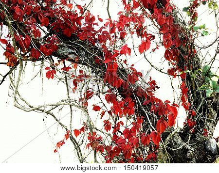 Red leaves of Virginia creeper on the dead tree with white background